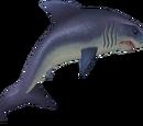 Raw great white shark