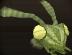 Praying mantis chathead.png