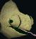 Adult chameleon (desert) chathead