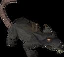Giant rat