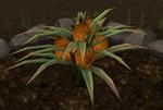 Pineapple plant 7
