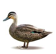 Random duckf
