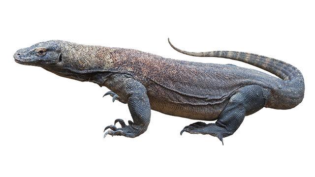 File:Komodo-dragon-white-background.jpeg