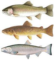 Steelhead-trout-coho-salmon