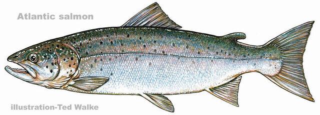 File:Atlantic salmon-1.jpeg
