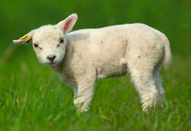 A very small sheep