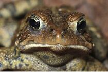 American-toad-2a-3708