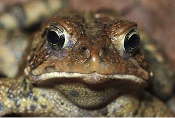 File:American-toad-2a-3708.jpg