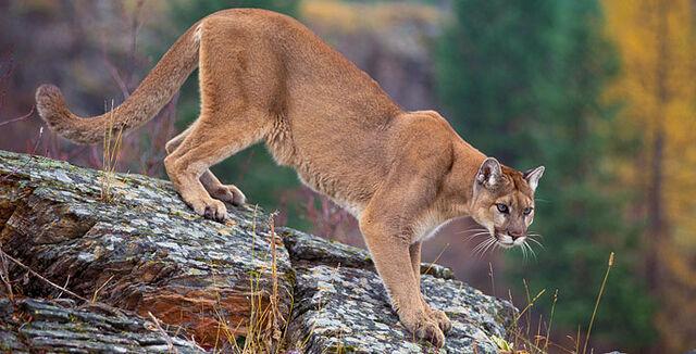 File:Cougar4.jpg
