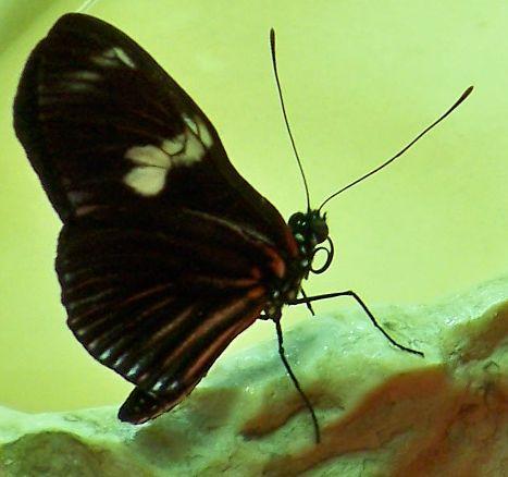 File:CAS-BioD-Understory-Butterfly.JPG