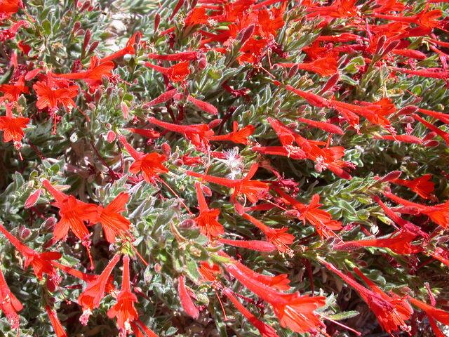 File:California fuschia Epilobium latifolium.JPG