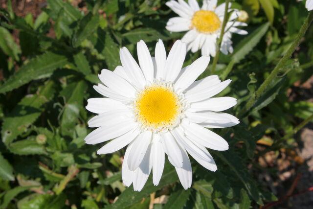 File:Asteraceae spec 003.jpg