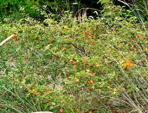File:Fremontodendron californicum ssp decumbens 1.jpg