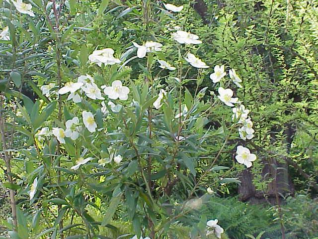 File:Carpenteria californica0.jpg