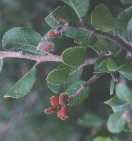 File:Lemonadeberry.jpg