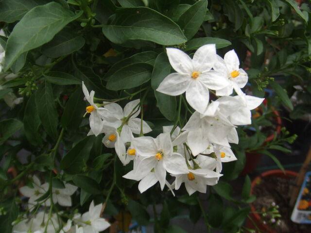 File:Solanum jasminoides1.jpg