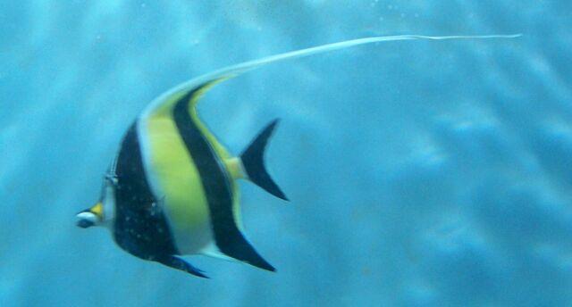 File:CAS-Aquarium-ButterflyFish.JPG