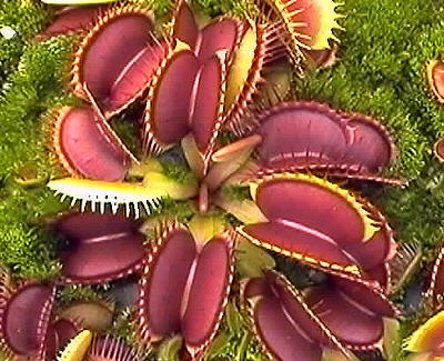 File:Venus flytrap.jpg