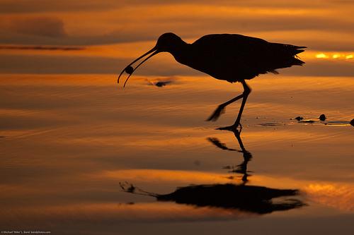 File:Long-billed Curlew Numenius americanus eating a sand crab at sunset.jpg