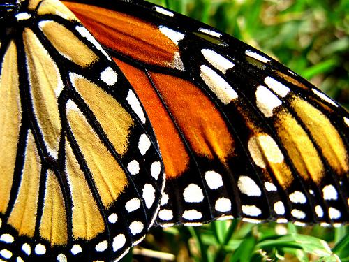 File:Monarch Adornment.jpg