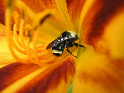 File:Macro 2 of bee inside a Day Lily.jpg