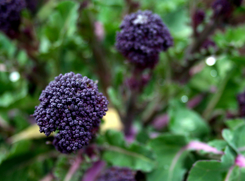 File:Purple Sprouting.jpg