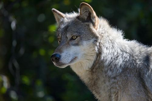 File:Gray Wolf II.jpg
