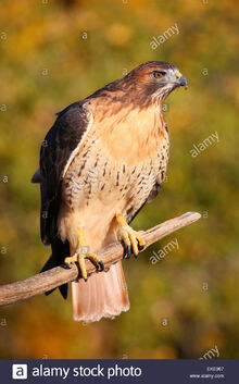 Red-tailed-hawk-buteo-jamaicensis-sitting-on-a-stick-EKE967