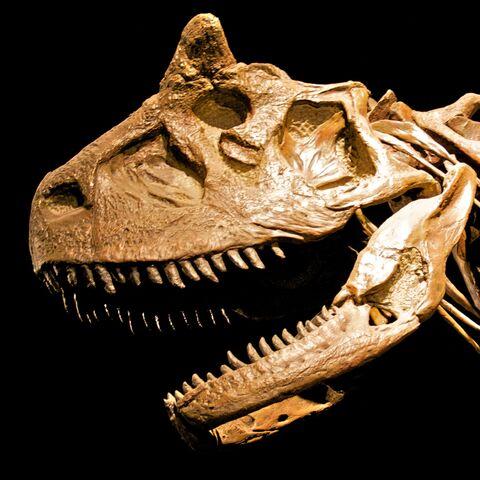 File:Carnotaurus skeleton Cropped.jpg