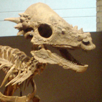 "Pachycephalosaurus (""Thick headed lizard"")"