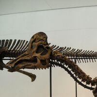 """Corythosaurus (""""Helmet Lizard"""")"""