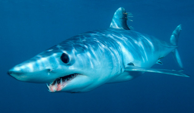 File:6. Mako Shark.jpg