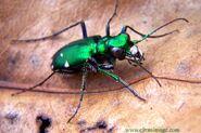 1. Tiger Beetle (Speed)