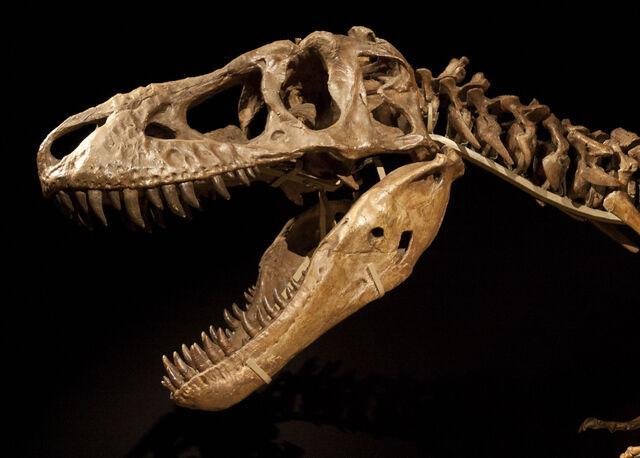 File:Tarbosaurus skeleton.jpg