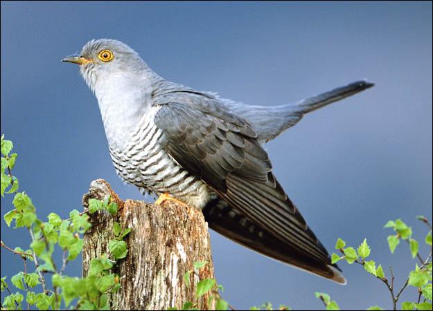 File:3. Cuckoo Bird (Cheats).jpg