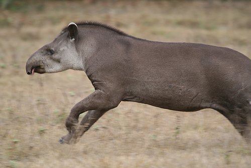 File:Tapir.jpg
