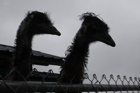 Two Emu Silhouettes