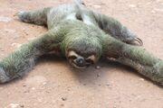 Three-Toed-Sloth-