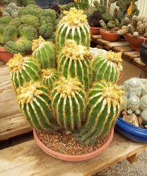 Parodiacactus