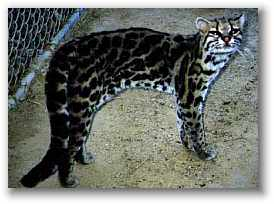 Scared... margay