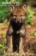 Mackenzie-Valley-wolf-pup-front-view