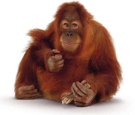File:Orangutan-image-900.jpg