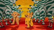 Simba and Nala and Zebras