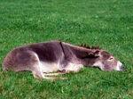 Sleepy Donkey