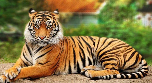 File:Tiger8.jpg