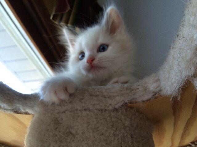 File:Chase2000 kitten.jpeg