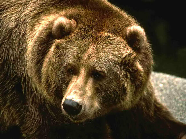 File:Brown-grizzly-bear.jpg