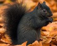 Squirrel black