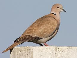 File:Eurasian Collard Dove.jpg