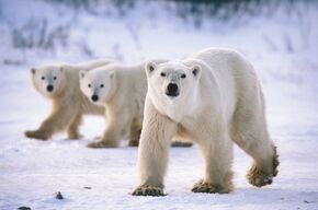 11394087-magnificent-polar-bears